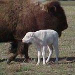 whitebuffalostar